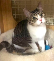 [another picture of Hunter Tabby, a Domestic Short Hair gray tabby/white\ cat]