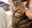 A picture of #ET03219: Sweet Cheeks a Domestic Short Hair brown marble tabby