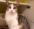 A picture of #ET03221: Estrella a Domestic Short Hair calico