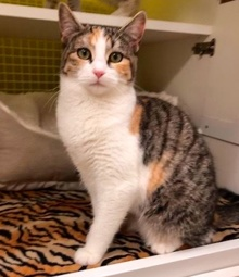 [another picture of Estrella, a Domestic Short Hair calico\ cat]