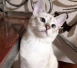 A picture of #ET03222: Rubi a Siamese lynx point