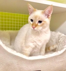 [another picture of Bruno, a Siamese flame point\ cat]