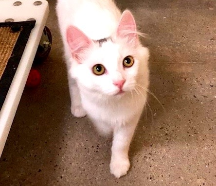 [picture of Trixie, a Turkish Van Mix white\ cat]