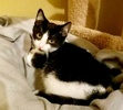 A picture of #ET03227: Stonefur a Domestic Short Hair black/white