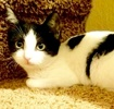 A picture of #ET03228: Mistyfoot a Domestic Short Hair black/white