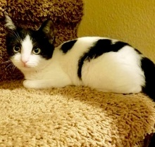 [picture of Mistyfoot, a Domestic Short Hair black/white\ cat]