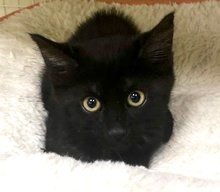 [another picture of Purr Ella, a Domestic Long Hair black\ cat]