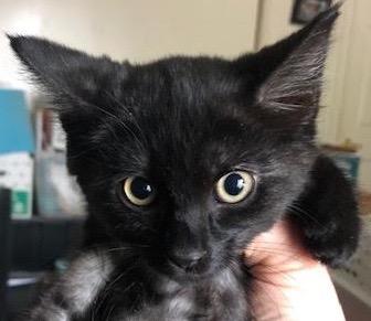 [picture of Purr Ella, a Domestic Long Hair black\ cat]