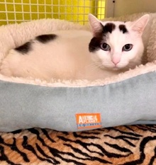 [another picture of Oliver, a Turkish Van Mix white/black\ cat]