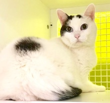 [picture of Oliver, a Turkish Van Mix white/black cat]