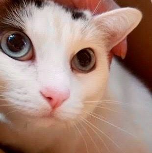 [picture of Oliver, a Turkish Van Mix white/black\ cat]