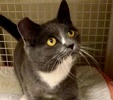 A picture of #ET03232: Winnie a Domestic Short Hair blue/white
