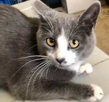 [picture of Tigger, a Domestic Short Hair blue/white\ cat]