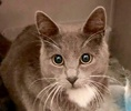 A picture of #ET03234: Eeyore a Russian Blue Mix blue/white