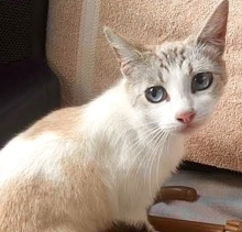 [picture of Marlina, a Siamese lynx point cat]