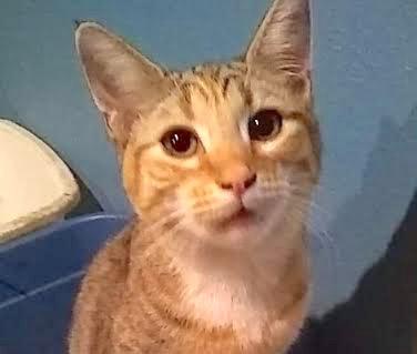 [picture of Marla Mae, a Domestic Medium Hair tabico\ cat]
