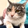 A picture of #ET03239: Gemma a Domestic Short Hair tabico