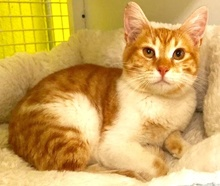 [picture of Guy, a Domestic Short Hair orange/white\ cat]