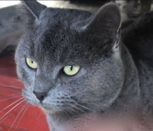 [picture of Ashberry, a Russian Blue Mix blue\ cat]