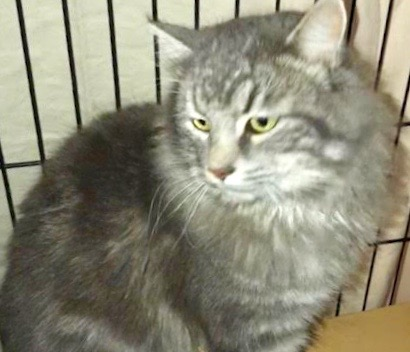 [picture of Flufinstuff, a Maine Coon-x silver\ cat]