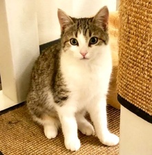 [another picture of Weebe, a Domestic Medium Hair brown tabby/white\ cat]