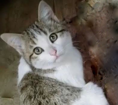 [picture of Weebe, a Domestic Medium Hair brown tabby/white\ cat]