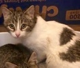 A picture of #ET03249: Freddie a Domestic Short Hair white/tabby