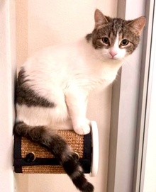 [another picture of Freddie, a Domestic Short Hair white/tabby\ cat]