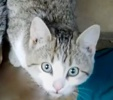 A picture of #ET03250: Teddie a Domestic Short Hair gray tabby