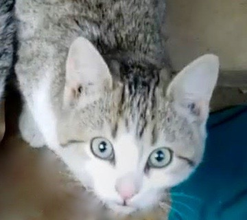 [picture of Teddie, a Domestic Short Hair gray tabby\ cat]