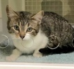 A picture of #ET03252: Beebe a Domestic Short Hair gray tabby/white