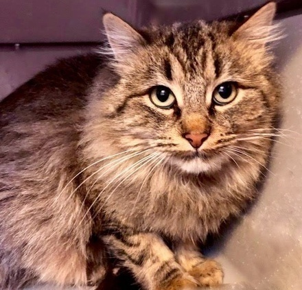 [picture of Amelie, a Maine Coon-x tabby/white\ cat]