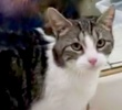 A picture of #ET03254: Lilibeth a Domestic Short Hair tabby/white