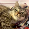 A picture of #ET03256: Bristol a Domestic Long Hair gray tabby/white