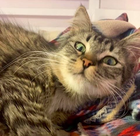 [picture of Bristol, a Domestic Long Hair gray tabby/white\ cat]