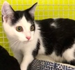 A picture of #ET03257: Kenton a Domestic Short Hair black/white