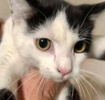 [picture of Kenton, a Domestic Short Hair black/white cat]