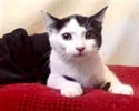 [picture of Krystal, a Domestic Short Hair black/white cat]