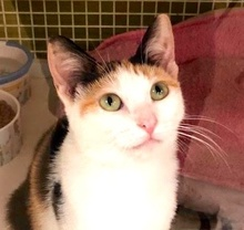 [picture of Elke, a Domestic Short Hair calico\ cat]