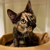 A picture of #ET03260: Angelita a Domestic Short Hair tortie