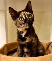 [another picture of Angelita, a Domestic Short Hair tortie\ cat]