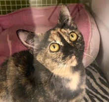 [picture of Angelita, a Domestic Short Hair tortie\ cat]