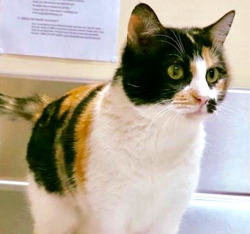 [picture of Niklana, a Domestic Short Hair calico\ cat]