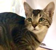 A picture of #ET03266: Ara a Domestic Short Hair gray tabby