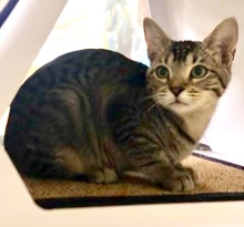 [another picture of Ara, a Domestic Short Hair gray tabby\ cat]