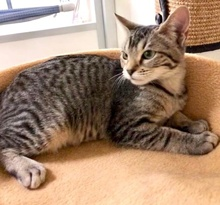 [picture of Ara, a Domestic Short Hair gray tabby\ cat]