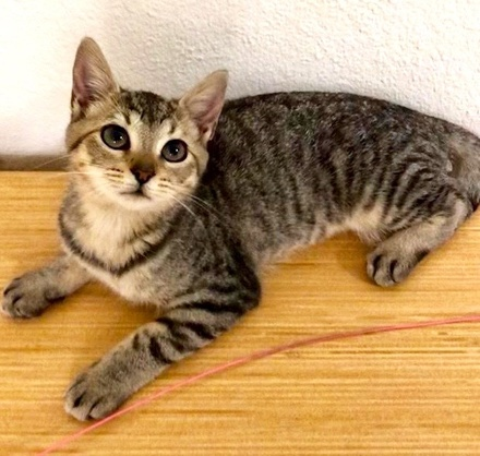 [picture of Adonna, a Domestic Short Hair gray tabby\ cat]