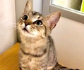 A picture of #ET03268: Alani a Domestic Short Hair tabby