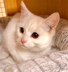 [another picture of Elsa, a Turkish Van Mix white\ cat]