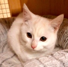 [picture of Elsa, a Turkish Van Mix white\ cat]